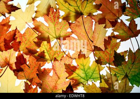 Herbstlaub, Collage, Ahornblätter (Acer Saccharinum), - Stockfoto