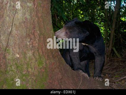 Sun bear (Helarctos Malayanus). Die Sun Bear (Helarctos Malayanus) ist ein Bär in tropischen Wald Lebensräume von - Stockfoto