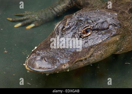 Krokodil im australischen Zoo, Beerwah, Australien - Stockfoto