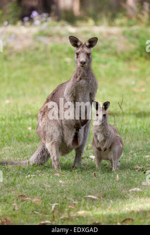 Mutter und junges Känguru in New South Wales, Australien - Stockfoto
