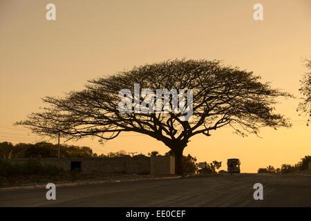 Dominikanische Republik, Südwesten, Baum Bei Nizao eine der Strasse Zur Küste Nach Palenque - Stockfoto