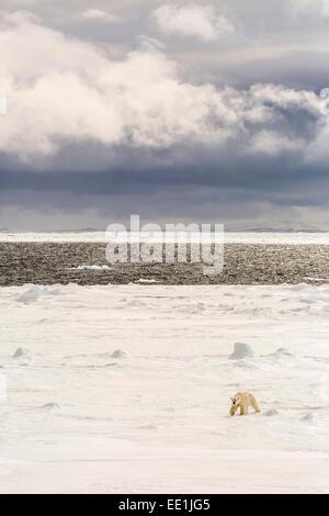 Erwachsenen Eisbär (Ursus Maritimus) im ersten Jahr Meer Eis in der Nähe von Cape Fanshawe, Spitzbergen, Svalbard, - Stockfoto