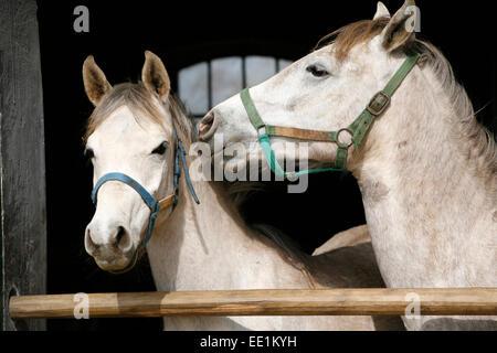 Arabische Pferde in stabile mit Blick auf das Scheunentor...  Schöne reinrassige grau gefärbt Rennpferde in der - Stockfoto
