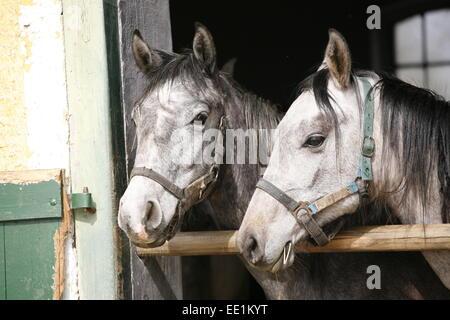 Arabische Pferde in stabile mit Blick auf das Scheunentor...  Schöne reinrassige Rennpferde in der Scheune ländliche - Stockfoto