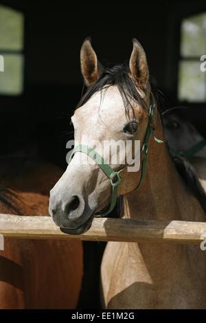 Arabisches Pferd stabil mit Blick über das Scheunentor...  Schönes Pferd Rennpferde in der Scheune ländliche Szene - Stockfoto