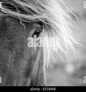 Closeup Portrait des isländischen Pony auf einer Farm in Island - Stockfoto