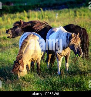 Gruppe von Island Ponys auf einer Farm in Island - Stockfoto