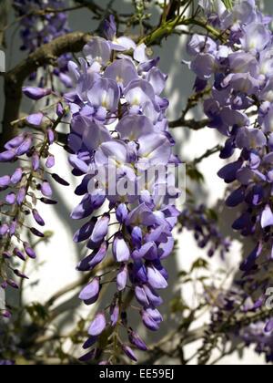 strauch japanischer blauregen wisteria floribunda natur. Black Bedroom Furniture Sets. Home Design Ideas