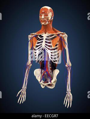 Menschlichen Oberkörper zeigen, Knochen, Muskeln und Herz-Kreislauf-System. - Stockfoto