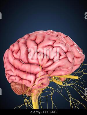 Menschlichen Gehirns mit den Nerven. - Stockfoto