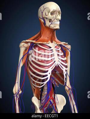 Menschlichen Oberkörper zeigen, Knochen, Lunge und Herz-Kreislauf-System. - Stockfoto