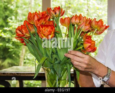 Frau, arrangieren ein Bouquet von roten und gelben frische Tulpen in einer Vase Klarglas. - Stockfoto