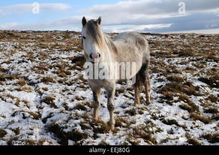 Wilde Welsh grau Pony am Black Mountain Range im Schnee Brecon Beacons Nationalpark Carmarthenshire Wales - Stockfoto