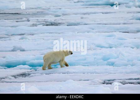 Eisbär (Ursus Maritimus / Thalarctos Maritimus) zu Fuß auf Packeis, Svalbard / Spitzbergen, Norwegen - Stockfoto