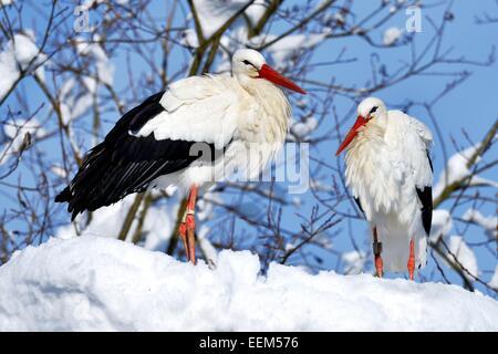 Weißstörche (Ciconia ciconia), ein paar stehen auf verschneiten Nest, Schweiz - Stockfoto