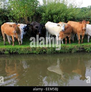Eine Herde von jungen Ochsen entkommen aus ihrem Gebiet und sind mit einem Spaziergang entlang der Leinpfad von - Stockfoto