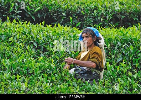 Tee-Picker auf Tee-Plantage in der Nähe von Nuwara Eliya / Central Highlands / Sri Lanka - Stockfoto