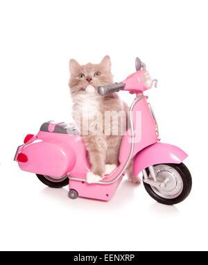 Ragdoll Kätzchen sitzen auf einem rosa Roller Studio Ausschnitt - Stockfoto