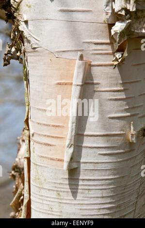 Betula Utilis Rinde - Stockfoto