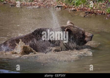 Europäischer Braunbär, Bayern, Deutschland, Braunbär, Bayern, Deutschland - Stockfoto