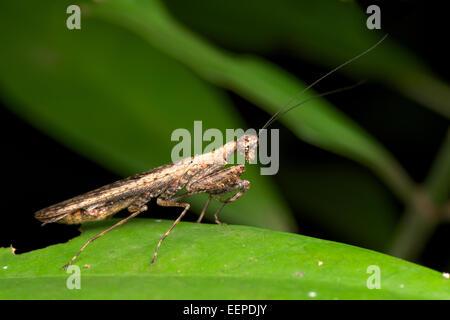 Humbertiella SP. Mantis, AKA Rinde Mantis in Pang Sida Nationalpark, Thailand. - Stockfoto