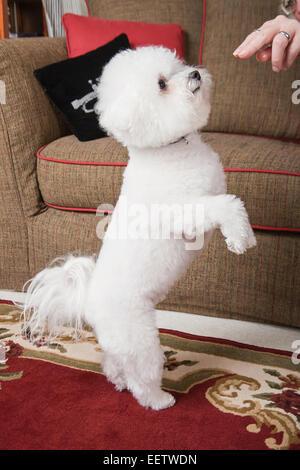 Pablo, ein Bichon Frise Hund demonstriert seine Fähigkeit, auf seinen Hinterbeinen tanzen - Stockfoto