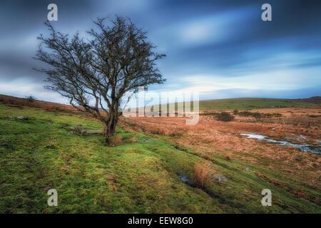 Ein Kahler Baum auf düstere Moor bei Bodmin Moor in Cornwall - Stockfoto