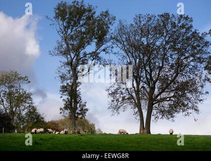 Pastorale Szene der Schafbeweidung unter blätterlosen Bäumen am Tedstone Delamere in der Nähe von Bromyard, Herefordshire, - Stockfoto