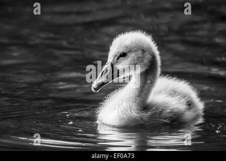 Ein Höckerschwan (Cygnus Olor) cygnet - Stockfoto