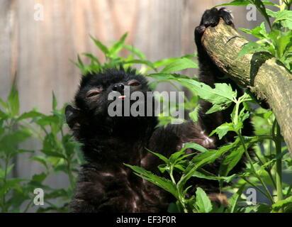Männliche madagassische blauäugige schwarz Lemur oder Sclater Lemur (Eulemur Flavifrons) inmitten der zoo - Stockfoto