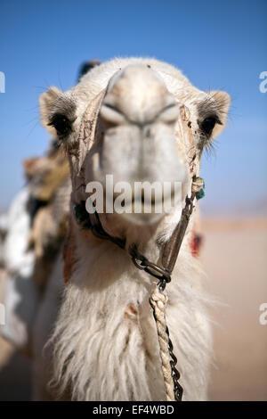 Kamel - Stockfoto