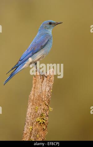 Bluebird Mountain - Sialia Currucoides - männlich - Stockfoto