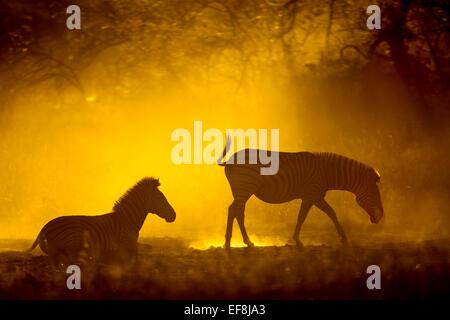 Afrika, Botswana, Moremi Game Reserve, Ebenen Zebra (Equus Burchelli) rollt auf dem Rücken zum Erfrischen Sie sich - Stockfoto
