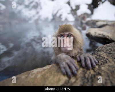 Japanisch Schnee Affen Baden in heißen Quellen Pools im Jigokudani Onsen, Präfektur Nagano, Japan - Stockfoto