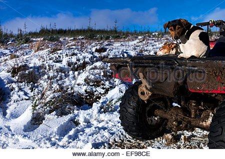Dolphinston, Oxnam, Jedburgh, Schottland, UK. 29. Januar 2015. Jack Russells genießt das Winter Sonnenlicht auf - Stockfoto
