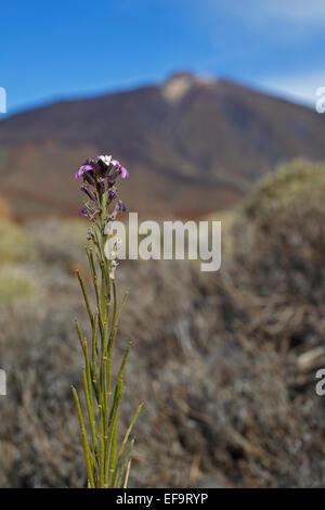 Teide-Margarita, Teide Mauerblümchen (Wegrauke Scoparium), Brassicaceae, Las Cañadas del Teide, Teneriffa Teide - Stockfoto