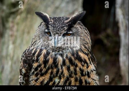 Eurasische Adler-Eule / Europäische Uhu (Bubo Bubo) close-up Portrait - Stockfoto