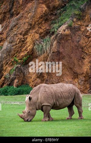 White Rhino / Square-lippige Rhinoceros (Ceratotherium Simum) weibliche Beweidung Rasen - Stockfoto