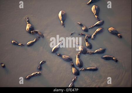 Flusspferde (Hippopotamus Amphibicus), im Wasser, Luftaufnahme, im Licht frühen Morgens, Luangwa Fluss stehend - Stockfoto