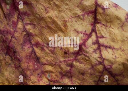 Eine Trocknung Rhabarber Blatt zeigt rote Äderchen im Spätsommer Garten. - Stockfoto