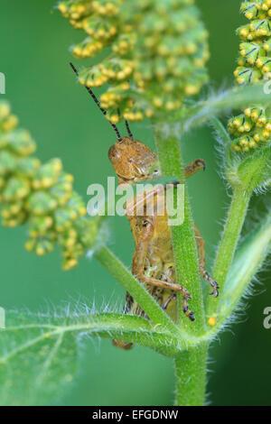 Grasshopper (Melanoplus SP.) am Blütenstiel. - Stockfoto