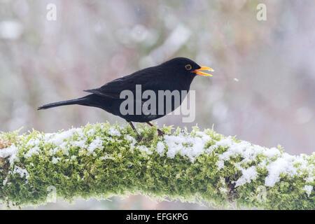 Männliche Amsel auf Schnee und Moos bedeckt Zweig.  An einem Wintertag in Großbritannien genommen, hat er seinen - Stockfoto