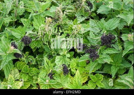Schmetterling kleiner Fuchs, Aglais Urticae, große Anzahl von Raupen Gurtband und ernähren sich von Brennnesseln, Urtica dioi