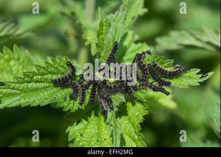 Schmetterling kleiner Fuchs, Aglais Urticae, große Anzahl von Raupen Gurtband und ernähren sich von Brennnesseln, - Stockfoto