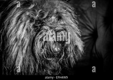 Portrait von Langhaarigen ungarische Wasser Hund (puli) mit Zunge heraus, Schwarz und Weiß - Stockfoto