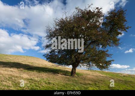Ein einsamer, verwitterte Weißdorn Baum mit seinen roten Herbst Beeren, an den Hängen des Honig Hill, Northamptonshire, - Stockfoto