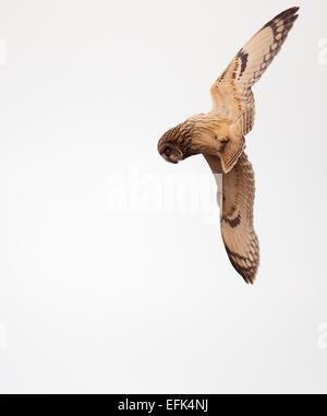 Wilde Short Eared Eule Asio Flammeus drehen und wenden, bevor Sie abtauchen auf ahnungslose Beute in Gloucestershire - Stockfoto