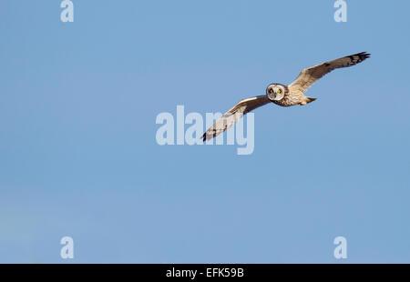 Wilde Jagd der Short-Eared Eule Asio Flammeus in Gloucestershire - Stockfoto