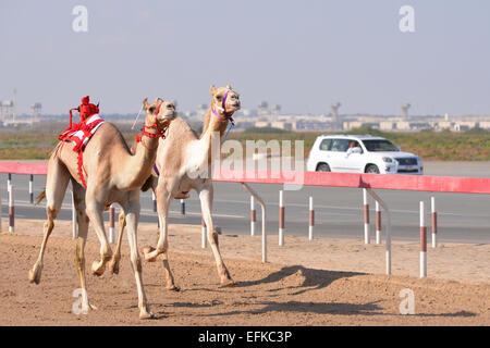 Kamele Rennen auf einer einsamen Strecke in Abu Dhabi.  Die Roboter-Jockeys werden von der menschlichen Jockey im - Stockfoto