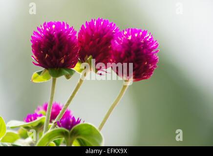 schöne Welt Amaranth Blume (Gomphrena Globosa Linn.) - Stockfoto